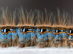 A macro (closeup) shot of a Gypsy Moth