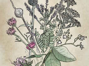 Illustration of Minnesota Wildflowers