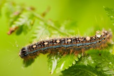 Gypsy moth covered in water droplets